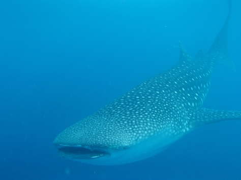 WhaleShark Watching, Oslob Cebu